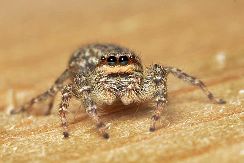 Araignée sauteuse dans © Macro-Photos-f@b © araignee-sauteuse-2
